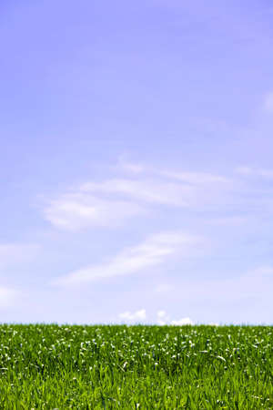 grain fields: green fields, blue sky, contrast