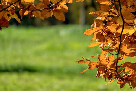 chlorophyll: an autumn leaf on a tree Stock Photo