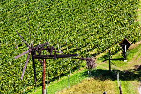 terracing: grapes in the vineyard of a winemaker. weingarten in autumn.