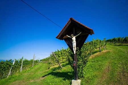 winemaker: grapes in the vineyard of a winemaker. weingarten in autumn.