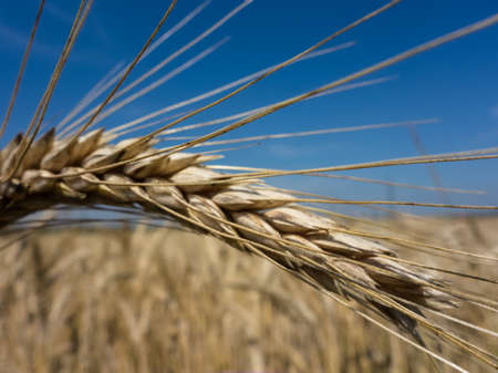 peasantry: a box of cereal (wheat) just before the harvest. cornfields in summer. Stock Photo