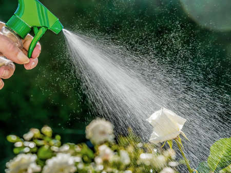 pesticide free: roses are sprayed me a means of pest control.