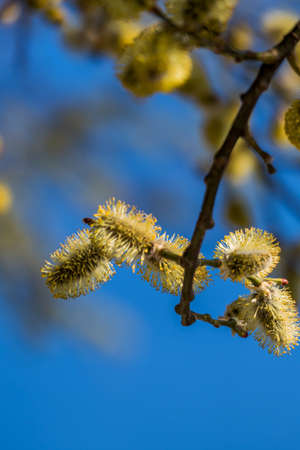 hayfever: risk of allergies by pollen at flowering shrubs in spring