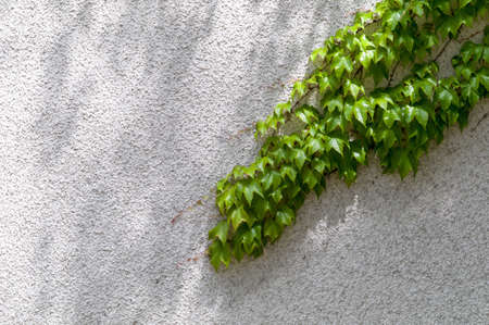 accrue: a vine of ivy on a brick wall. symbol photo for growth and strength