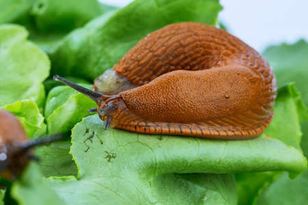 an invasion: a slug in the garden eating a lettuce leaf. snail invasion in the garden Stock Photo