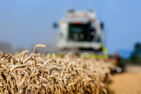 peasantry: a cornfield with wheat at harvest. a combine harvester at work.