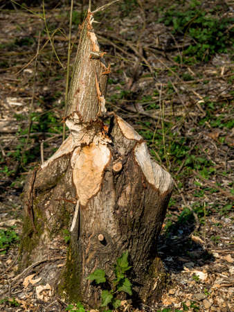 gnaw: from beaver damage caused trees have precipitated.