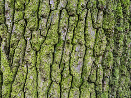 bark background: bark on a tree as a background
