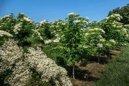 buisson: fleurs de sureau sur un buisson au printemps.