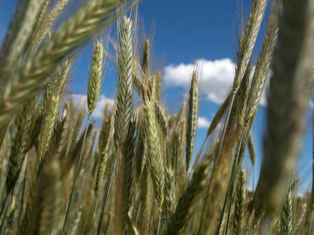 a getreiudefeld rye on a field before harvest in the summer