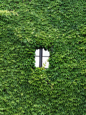 sustained: a house is completely overgrown with ivy. only one window siehht heruas. Stock Photo