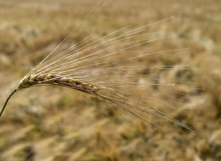 getreideähre of barley in a field of grain before harvest