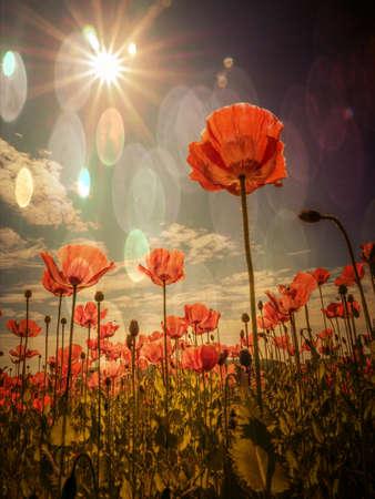poppy: Campo de la amapola con las amapolas en verano