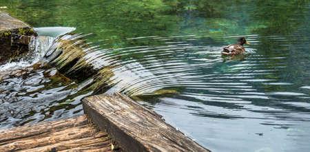 however: a duck swimming in a clear lake. austria, upper austria, schiederweiher