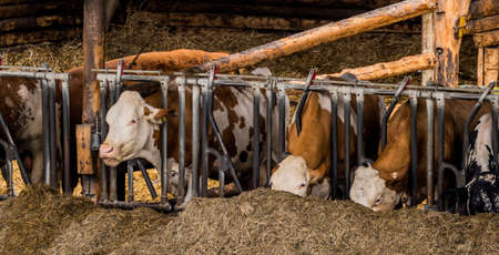 peasantry: cows in a barn