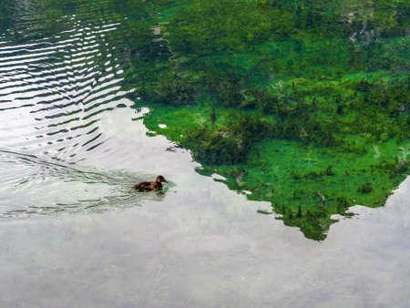 Een eend zwemmen in een heldere vijver oostenrijk oberösterreich