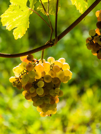 grape vines: the vineyard of a winemaker in lower austria Stock Photo