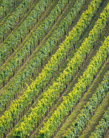 peasantry: the vineyard of a winemaker in lower austria Stock Photo