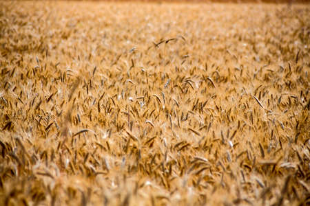 peasantry: a field of grain in summer. harvest in agriculture