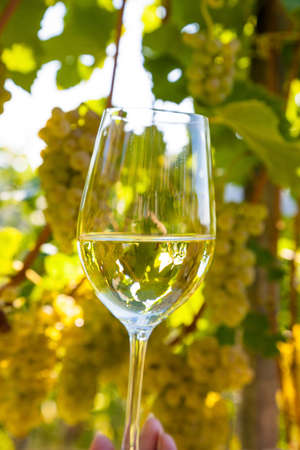 wineglass in the vineyard