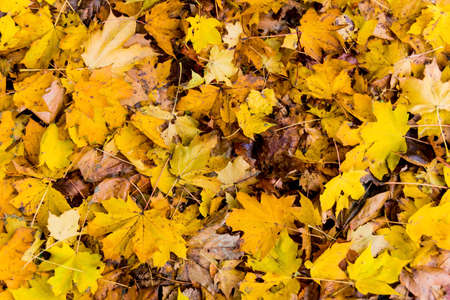 yellow leaves in the autumn Stock Photo