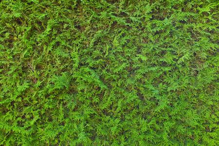 green hedge, full frame Stock Photo