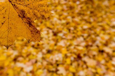 yellow leaves in the autumn Foto de archivo