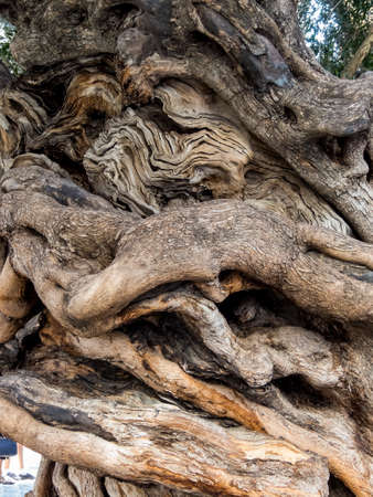 trunk of an old olive tree Foto de archivo