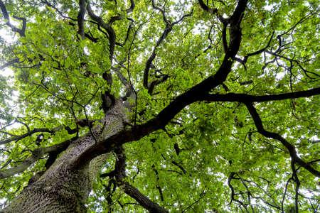 RBol de hoja caduca y copa de árbol Foto de archivo - 96106474