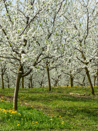 blossoming fruit trees in spring Stock Photo