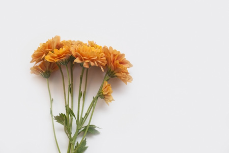 Branch of a blossoming orange chrysanthemum isolated