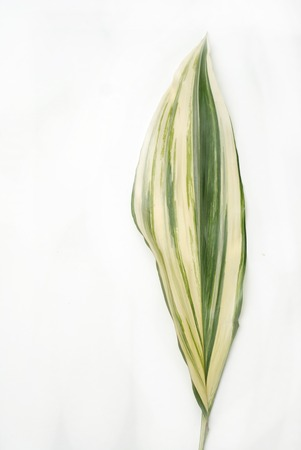 Aspidistra elatior Variegate leafe. Decorative leafe isolated.