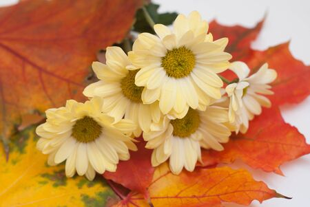 Autumn flowers and yellowed leaves of maple