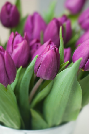 Purple Tulips bouquet Spring and Summer flowers. close up Violet flowers. Stock Photo