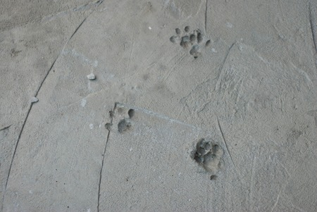Traces of Cat Kitty Swans in Fresh Cement Cats Kitt Stock Photo