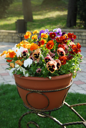 Variety Pansies Flowers in Pots Spring Garden Flowers Nature