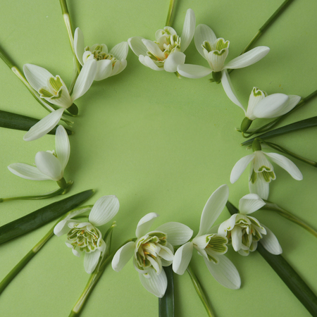 Spring flowers - white snowdrops Galanthus nivalis arranged in circle, on a green background with space for text. Top view, flat lay. Stock Photo