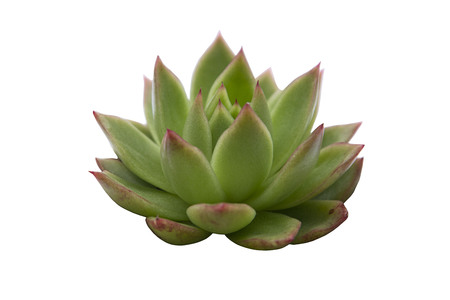 Top view of live echeveria succulent flower plant houseplants isolated on white background Stok Fotoğraf