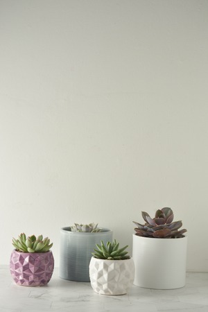 Succulent plant. A group of echeverias on white table. Copy space.