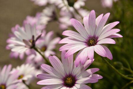 Summer pink camomiles flower bush. Garden live flowers closeup.