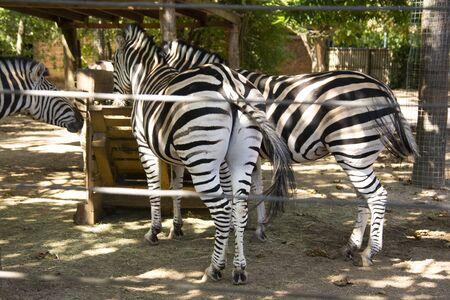 Zebra animals at zoo. Exotic animal. Summer holidays, travel