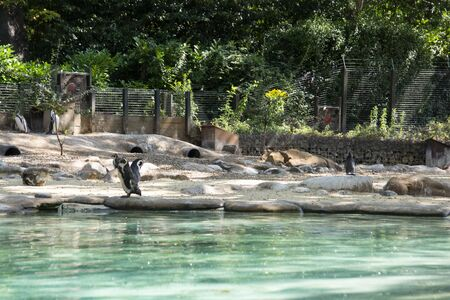 Humboldt penguins at the zoo. Little cute pinguins on a rock at the zoo.