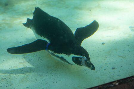 Humboldt penguins sweeming in water. Little cute pinguins