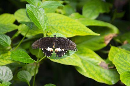Black butterfly over green leaf in summer garden.