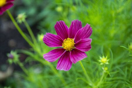 Pink flowers of chamomile, garden flower in green garden, summer background