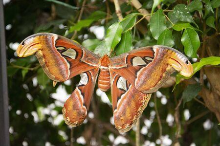 Giant Atlas Moth-aka orange butterfly n green leaf, closeup beautiful giant butterfly