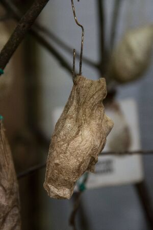 Great peacock moth caterpillar. Thread cocoon. First stage of the formation of the chrysalis of butterfly.