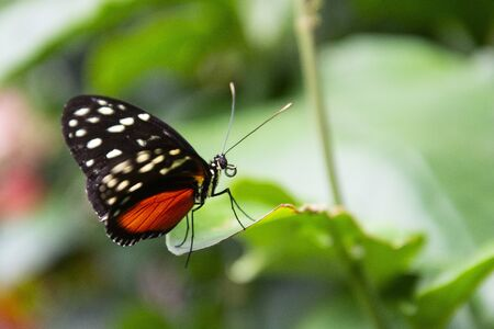 Close up orange butterfly on green leaf, beautiful summer backgound Archivio Fotografico - 129486742
