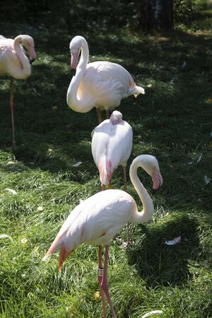 Live pink flamingos standing on the ground, looking ahead. Flamingo at the zoo, summer day. Фото со стока - 129486738