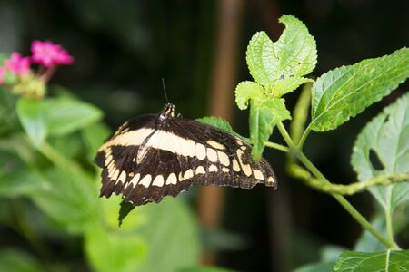 Tropical butterfly on green leaf. Black and white butterfly close up in garden. Archivio Fotografico - 129486755